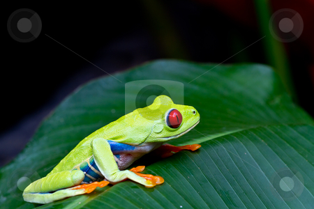 Red eyed tree frog side stock photo, The amazing blue sides of the red eyed tree frog. by mojojojo
