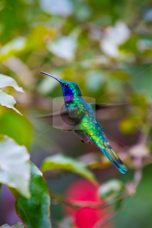 Hummingbird stock photo, A large green humming bird hovers to inspect a flower in Costa Rica. by mojojojo