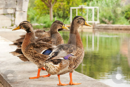 Group of young geese  standing near a small lake stock photo, group of young geese  standing near a small lake by Paulo M.F. Pires