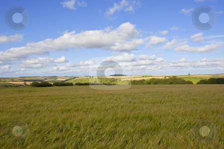 Barley field stock photo, summer landscape with a view over fields of unripe barley to rolling hills under a blue sky with fluffy white clouds by Mike Smith