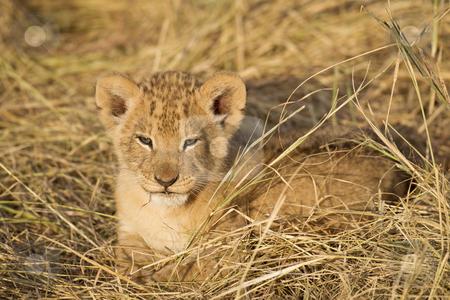 Lion Cub stock photo, Lion cub, Maasai Mara National Reserve, Kenya, East Africa by mdphot