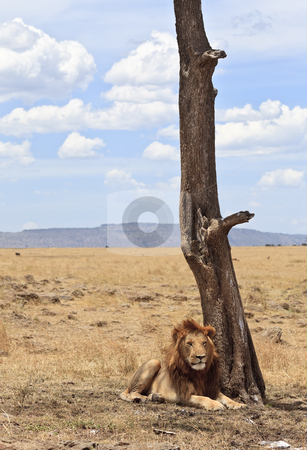 Male Lion stock photo, Male lion resting in the small shadow of a tree, Maasai Mara National Reserve, Kenya, East Africa by mdphot
