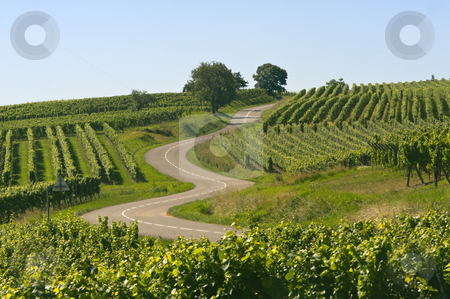 Winding road in the vineyards of Alsace stock photo, Winding road in the vineyards of Alsace near Itterswiller (Bas-Rhin, France) at summer by clodio