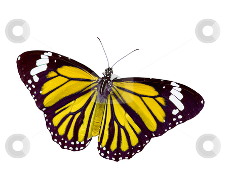 Butterfly in action stock photo, Isolated Butterfly, butterfly in action by Lawren