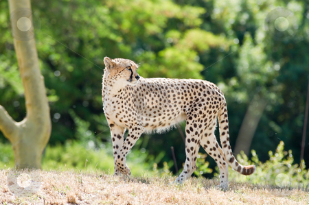 Cheetah stock photo, A walking Cheetah.   The cheetah (Acinonyx jubatus) is a large-sized feline Cat by Robby Ticknor