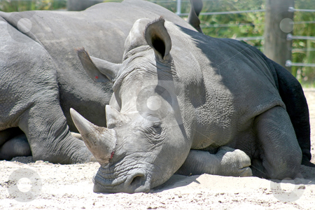 Rhino stock photo, A Rhino resting in the sand, another rhino behind by Lucy Clark