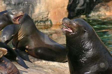 Sealions stock photo, Sealions shouting at each other whilst sitting on rocks by Lucy Clark