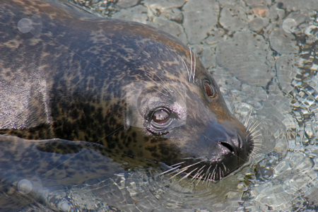 Seal stock photo, A seal laying in the water looking up by Lucy Clark