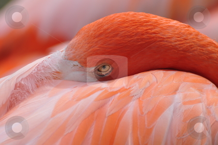 American Flamingo stock photo, This Pink American Flamingo tries to catch a nap, while I take his picture at Jungle Gardens in Sarasota Florida. by OreProductions