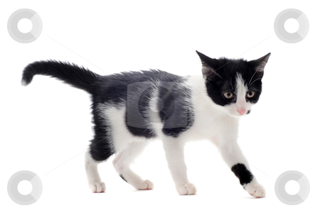 Black and white kitten stock photo, young black and white kitten in front of white background by Bonzami Emmanuelle