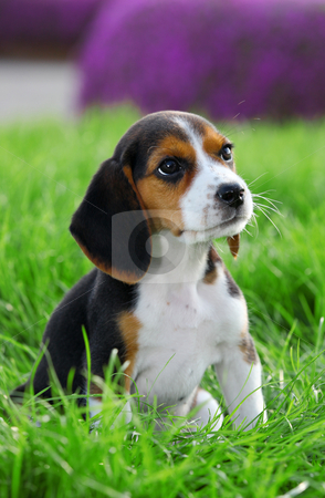 Pedigree beagle puppy playing outside in the grass stock photo, pedigree beagle dog playing outide in the grass by mandygodbehear