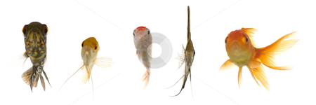 Aquarium fish are looking stock photo, Five different fish are looking. Isolated on a clean white background by Lars Christensen