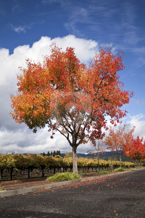 Autumn Tree stock photo, A vineyard and autumn colored trees around a road by Kevin Tietz