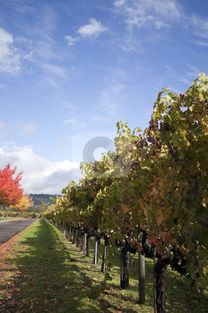 Vineyard stock photo, A row of grape vines used for making wine by Kevin Tietz