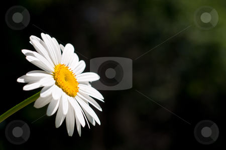 Daisy in the Sun stock photo, A single sunlit daisy against a dark green background. by Brian Guest