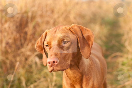 Hungarian Vizsla Dog Close-up stock photo, A female Hungarian Vizsla dog stares past the photographer while standing in a field in autumn. by Brian Guest