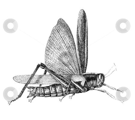 "Grasshopper stock photo, Grasshopper. Illustration originally published in Ernst von Hesse-Wartegg's ""Nord Amerika"", swedish edition published in 1880.  by Stocksnapper"