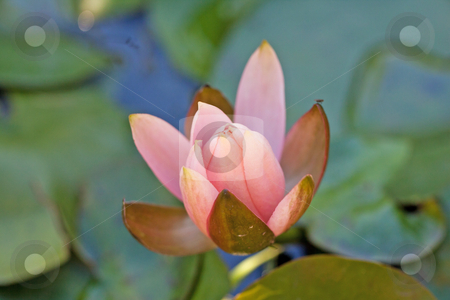 Waterlily stock photo, Close up of a pink waterlily in a pool by Fabio Alcini