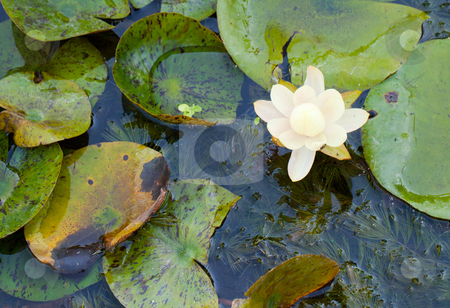 Waterlily stock photo, Close up of a white waterlily in a pool by Fabio Alcini