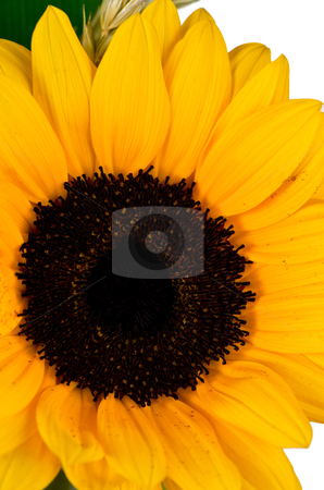 Yellow sunflower stock photo, Bright colorful yellow sunflower on over white background. by Homydesign