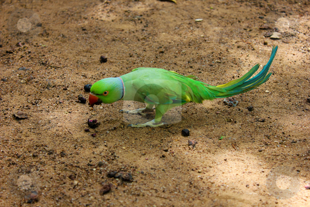 Green parrot  stock photo, green parrot Ringneck Parakeet  by ajithclicks