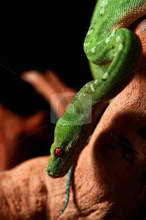 Green Tree Python #10 stock photo, Green adult with diamond pattern and red eyes climbing down a branch  by jeffhankey