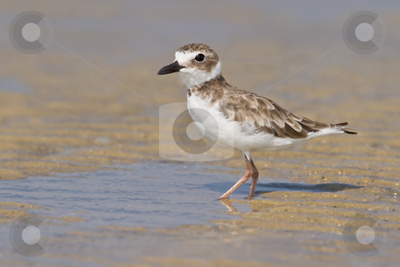 Wilson's Plover (Charadrius wilsonia) stock photo, Wilson's plover in non-breeding plumage. by Glenn Price