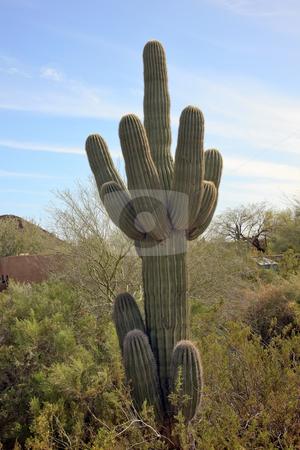Saguaro Cactus Desert Botanical Garden Phoenix Arizona stock photo, Saguaro Cactus Carnegiea Gigantea, Desert Botanical Garden Papago Park Sonoran Desert Phoenix Arizona by William Perry