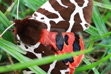 Garden tiger moth stock photo, garden tiger moth by detseven