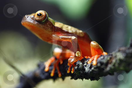 Clown Tree Frog stock photo, A macro shot of a clown tree frog (Dendropsophus Leucophyllatus) in its tropical surrounding. These tiny little frogs inhabit areas around bodies of water in the Amazon Basin, from Peru east through Brazil and the surrounding countries.  by macropixel