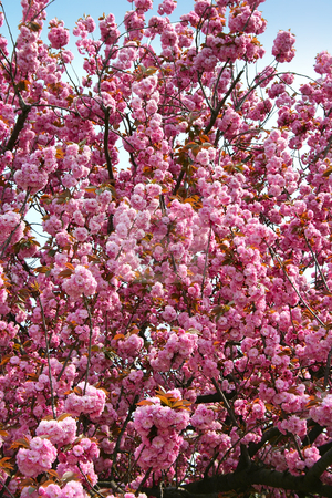 The blooming tree stock photo, The blooming tree in the center of Istanbul, Turkey by Mirumur