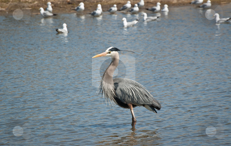 Great Blue Heron Wading in a Suburban Pond stock photo, A Great Blue Heron wades in a suburban pond with seagulls in the background. by Brian Guest
