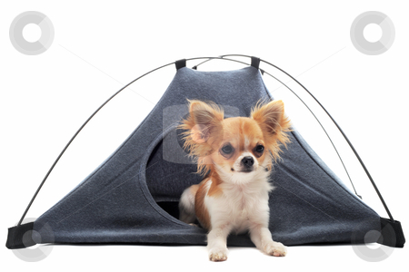 Puppy chihuahua in camp tent stock photo, portrait of a cute purebred  puppy chihuahua in a tent in front of white background by Bonzami Emmanuelle