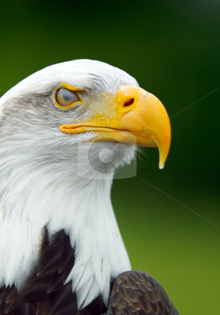 Bald Eagle stock photo, Portrait of a  Bald Eagle by Robert Ford
