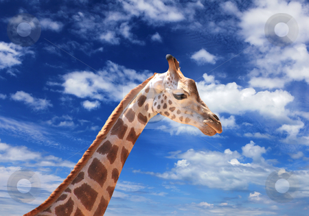 Girafffe agaisnt sky background stock photo, Picture of a giraffe standing against sky by Sergey Nivens