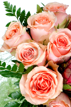 Pink roses stock photo, Flower of pink roses on white background. by Homydesign