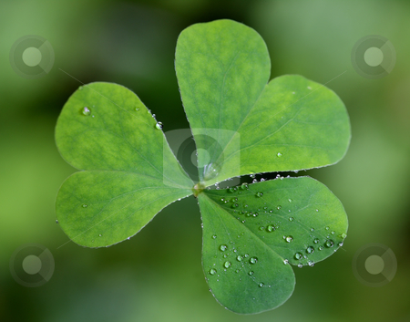 Fresh clover stock photo, A top view of a single clover with dew drops mostly covering one of the leaves.  by macropixel
