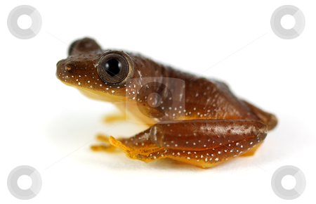 Reed Frog stock photo, A tiny reed frog (Afrixalus fornasinii) shot on a solid white background. Also known as the Greater Leaf-Folding Frog inhabits South East Africa. by macropixel