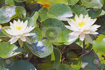 Waterlily stock photo, Two white waterlilies coming out of a pool by Fabio Alcini