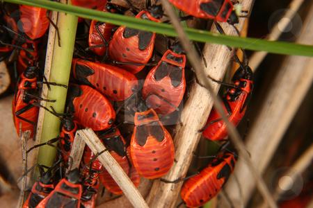Red Bug (Pyrrhocoris apterus) stock photo, Red Bug (Pyrrhocoris apterus) - various  stages of development in a group by Torsten Dietrich