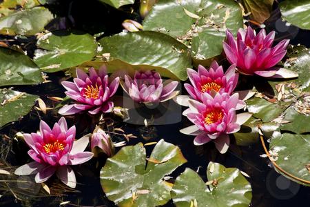 Pink Water Lillies  Beijing China stock photo, Pink Water Lillies Beijing China by William Perry