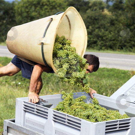 Harvest stock photo, farmer harvesting the grapes during the harvest by vwalakte