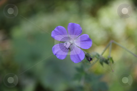 Mountain flower stock photo, Mountain flower of a photo close up by vladnad