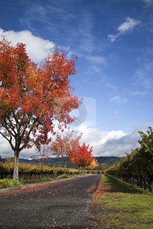 Autumn Vineyard stock photo, A vineyard and autumn colored trees around a road by Kevin Tietz