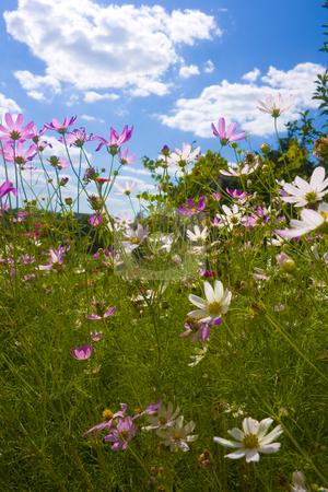 Flowers on blue sky background stock photo, beautiful flowers and blue sky background by Minka Ruskova-Stefanova