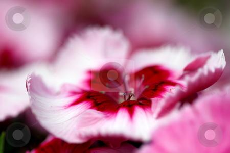 Dianthus Corona Cherry Magic stock photo, close up of a white pink red dianthus corona cherry magic by Henrik Lehnerer