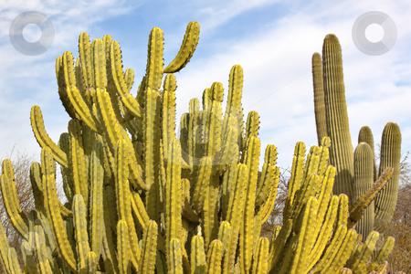 Organ Pipe Cactus Saguaro Desert Botanical Garden Phoenix Arizon stock photo, Organ Pipe Cactus Stenocereus Thurberi, Saguaro Cactus Desert Botanical Garden Papago Park Sonoran Desert Phoenix Arizona by William Perry