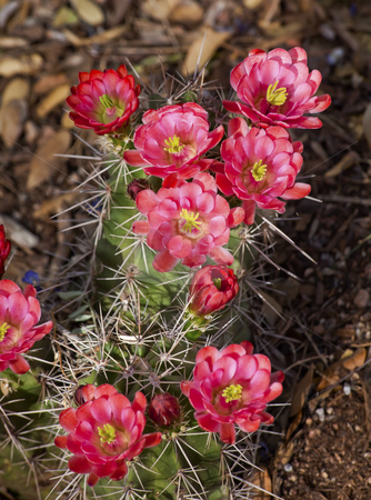 Pink Red Cactus Flowers Sonoran Desert Phoenix Arizona stock photo, Pink Red Cactus Flowers Blossums Desert Botanical Garden Papago Park Sonoran Desert Phoenix Arizona by William Perry