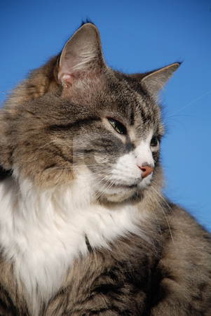 Silver tabby cat stock photo, Portrait of a long-haired silver tabby cat against a blue sky background. by newsfocus1