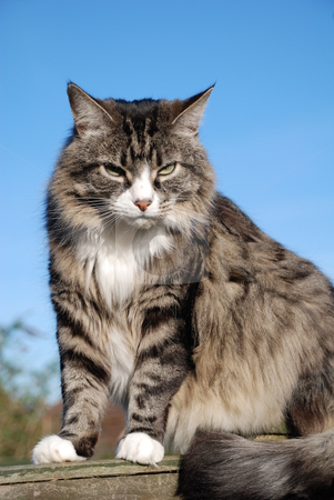 Silver tabby cat stock photo, Portrait of a long-haired silver tabby cat sitting on a garden fence. by newsfocus1
